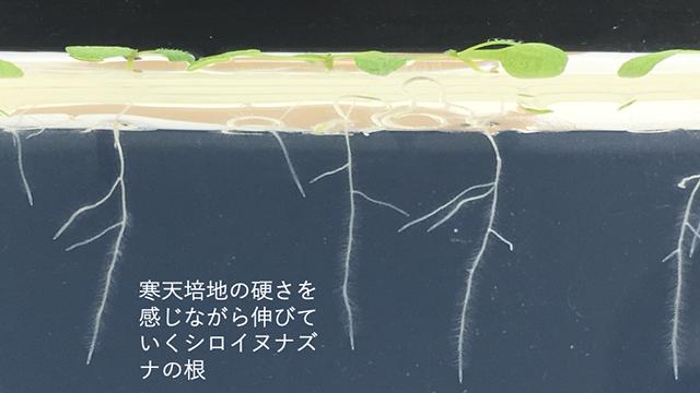 本学卒業生が筆頭著者の論文、英文専門誌に掲載 〜植物の根の感覚変異体を単離する画期的な方法を発表〜