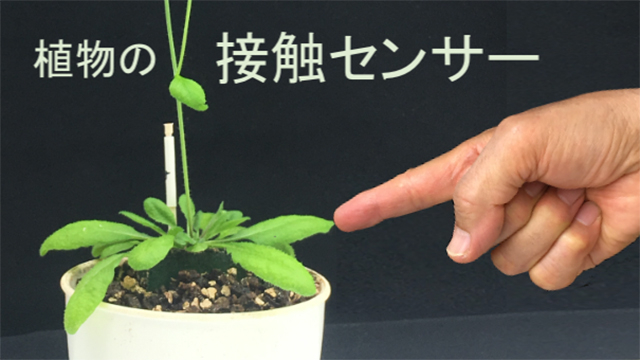 MCA1とMCA2タンパク質が植物の接触センサーであることを特定しました。